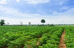 Cassava farmland agriculture. In Thailand royalty free stock photo