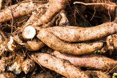 Cassava in field Stock Photography
