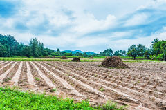 Cassava field Royalty Free Stock Photo