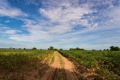 Cassava Stock Photography