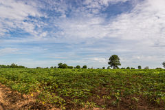 Cassava Royalty Free Stock Photo