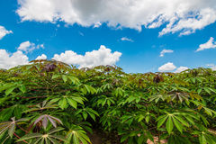 Cassava field Royalty Free Stock Photos