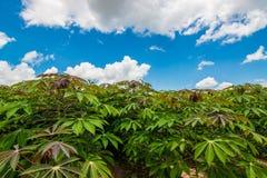Cassava field Royalty Free Stock Photos