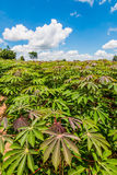 Cassava field Royalty Free Stock Photography