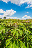 Cassava field Stock Photos