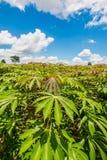 Cassava field. A field of cassava plant in Thailand Stock Photos
