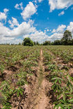 Cassava field Stock Photo