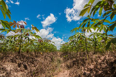 Cassava field Stock Images