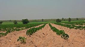 Cassava field in sandy soil Stock Photography