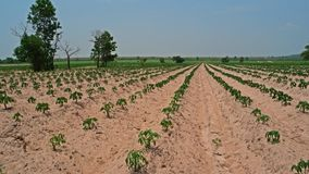 Cassava field in sandy soil. One of major field crop in tropical area Royalty Free Stock Image