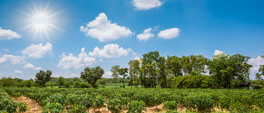 Cassava field Royalty Free Stock Image