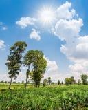 Cassava field Stock Photo