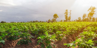 Cassava field with workers. Stock Images