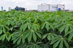 Cassava garden Stock Image