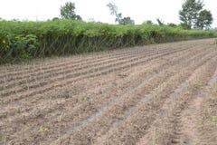 Cassava Royalty Free Stock Photos