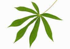 Cassava leaf Stock Image