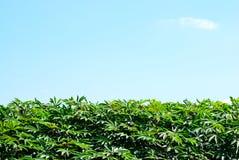 Cassava leaf background Stock Photos