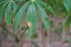 Cassava leaf blight disease from bacteria. Plant disease Stock Photo