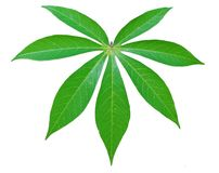 Cassava leaf cut out on white stock photo