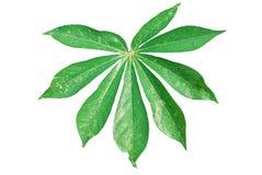 Cassava leaf. Isolated on white background Royalty Free Stock Photos