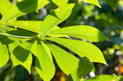 Cassava leaf Royalty Free Stock Image