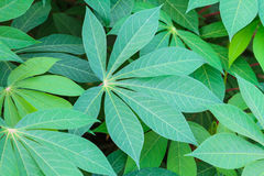 Cassava leaves Royalty Free Stock Photo