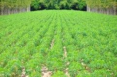 Cassava or manioc plant field Royalty Free Stock Photography