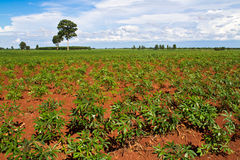 Cassava or manioc plant field Stock Photography
