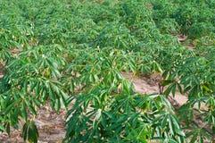 Cassava or manioc plant field Stock Image
