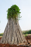 Cassava or manioc plant field Royalty Free Stock Images
