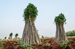Cassava or manioc plant field Stock Images