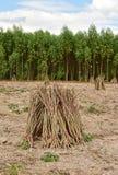Cassava or manioc plant field Stock Photos
