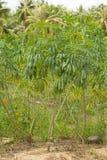 Cassava or manioc plant field Royalty Free Stock Image