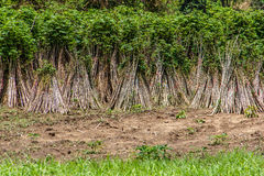 Cassava. Or manioc plant field in Thailand Stock Photography