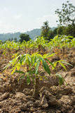 Cassava or manioc young plant field Royalty Free Stock Images
