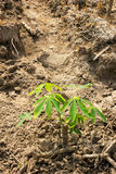 Cassava or manioc young plant field Royalty Free Stock Image