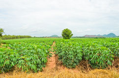 Cassava plant Royalty Free Stock Photography
