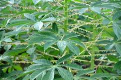 Cassava plant Stock Image