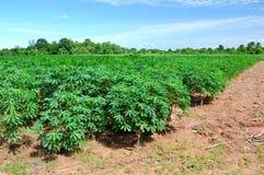 Cassava plant field. royalty free stock photos