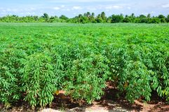 Cassava plant field. Royalty Free Stock Image