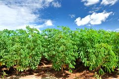 Cassava plant field. stock photography