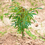 Cassava Plant in The Field Stock Photo