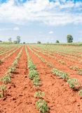 Cassava plant field Stock Photo