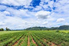 Cassava plant field Stock Photography