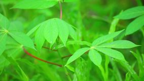 Cassava Plant Vibrant Green Leaves Panning Close Up stock video footage