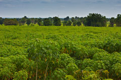 Cassava plantation Royalty Free Stock Images
