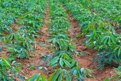 Cassava plantation Stock Image