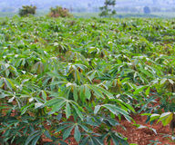 Cassava plantation Stock Photos