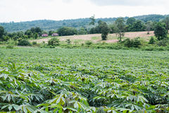 Cassava plantation Royalty Free Stock Photography