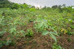 Cassava plantation closeup in the Amazon forest Royalty Free Stock Images
